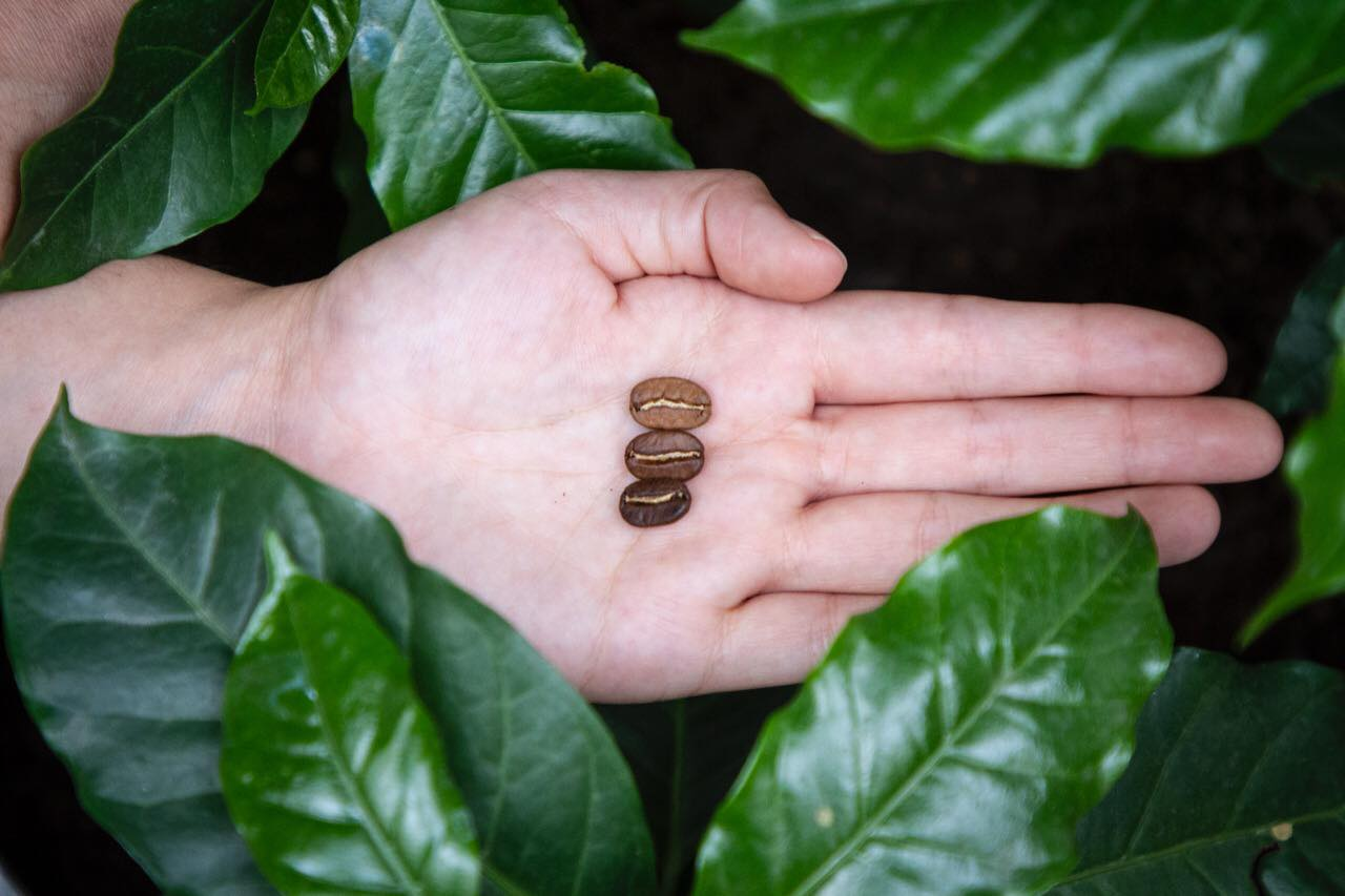 Cafeticultores de Córdoba buscan exportar café a países árabes.